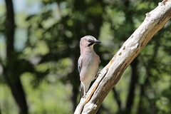 Ghiandaia (carlo612001) Tags: ghiandaia jay uccello uccelli bird birds eye wildlife wild free nature natura bosco wood forest
