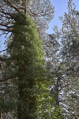 Yedra (CarlosJ.R) Tags: aragón bosque españa huesca pirineos sanjuandelapeña