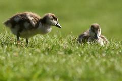 Egyptian Geese Goslings (paulinuk99999 - tripods are for wimps :)) Tags: paulinuk99999 young spring 2017 egyptian geese goose goslings babies cute fluffy bird sal70400g hampton court palace gardens