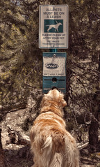 Rebel without a leash - 52 Weeks for Dogs-16/52 (Exdeltalady) Tags: 52weeksfordogs golden dog rules hiking goldenretriever challenge leashlaws leashes