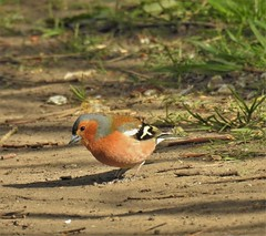 Chaffinch Searching for Spilled Seed - Druridge Ponds (Gilli8888) Tags: northumberland birds druridge druridgeponds water lake finches countryside nature chaffinch colour smallbirds seed nikon p900 coolpix