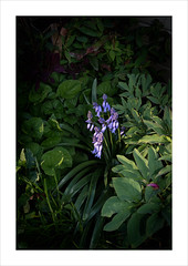 Catching the Early Light With Bluebells. (Mikec77) Tags: bluebells earlymorninglight