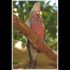 A noisy baby Galah demanding attention. (debjohnson3) Tags: australianbird juvenile feathers parrot bird babybird grey pink cockatoo galah instagramapp