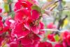 IMG_0353 (vargabandi) Tags: chaenomeles vargabandi garden red blossom
