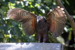 Butterfly Kaka (apteryxo) Tags: wly kaka zealandia