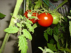 image117 (i_am_charliekay) Tags: nature gardening balcony selfgrown homegrown vegetables veggies flowers tomato tomatoes zuccini pepper peppers pumpkin animals green balconylife