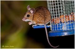 Guess Who Came To Dinner! (lukiassaikul) Tags: wildlifephotography wildanimals littleanimals rodent vermin mammal urbanwildlife fieldmouse feeder birdfeeder nuts bigeyes