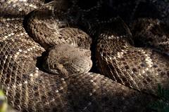 Sure sign of spring  {Explored} (jimsc) Tags: rattlesnake rattler diamondback serpent predator snake reptile animal critter wildlife fauna crotalus atrox crotalusatrox spring april morning ngc brown arizona pimacounty tucson catalina panasonic lumix fz200 jimsc