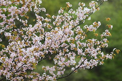 Sakura (Teruhide Tomori) Tags: flower sakura spring nature japan japon hyogo mountain green hillcherry cherry 桜 日本 春 山 自然