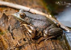 Northern Green Frog (BirdFancier01) Tags: nature spring amphibian frog greenfrog log brown water vernalpool northerngreenfrog