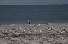 Caspian terns, crested terns, silver gulls and pied cormorant, Becher Pt, near Rockingham, WA, 12/03/17 (Russell Cumming) Tags: bird caspiantern crestedtern silvergull piedcormorant becherpt rockingham perth westernaustralia