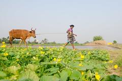 Village life (suresh31589) Tags: tamilnadu india former peace beauty nature walk cow lady life village