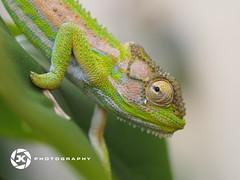 Karma Chameleon... (Jan-Krux Photography) Tags: fauna southafrica tiere colours olympus capetown chameleon farben kapstadt suedafrika