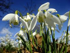 Snowdrops (Beardy Vulcan) Tags: winter plant flower fauna march hampshire bloom snowdrop basingstoke 2010 thevyne galanthusnivalis sherbornestjohn weybrookvalley