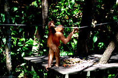 shy orangutan