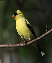 American Goldfinch, male (AllHarts) Tags: memphistn backyardbirds maleamericangoldfinch naturesspirit feathersbeaks stunninganimalsandbirds naturespotofgoldlevel1 ourwonderfulandfragileworld