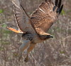 Red Tailed Hawk (Desmojosh) Tags: red nature canon eos hawk cove nj taken l usm palmyra 56 tailed 400mm 70d 42614