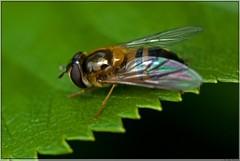Zweefvlieg / Hoverfly (Joop Rensema.) Tags: macro elements groningen tamron tamron90mm zweefvlieg tamronspaf90mmf28di macrolife sonydslra230 sonya230