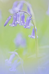 bluebell macro (leavesnbloom photography by Rosie Nixon) Tags: flowers blue bluebells scotland native pastel perthshire romantic dreamy wildflowers tayside rosienixon