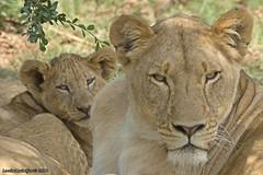 PICT2124 (Arno Meintjes Wildlife) Tags: africa nature animal southafrica wildlife lion safari krugerpark pantheraleo arnomeintjes