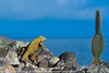 Conolophus pallidus - Iguane de Santa Fe - Santa Fé Land Iguana - 2014 Galapagos 06.jpg