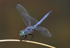 Blue Dasher (Pachydiplax longipennis) (Ron Wolf) Tags: california nature insect dragonfly wildlife odonata libellulidae insecta pachydiplaxlongipennis foothillspark