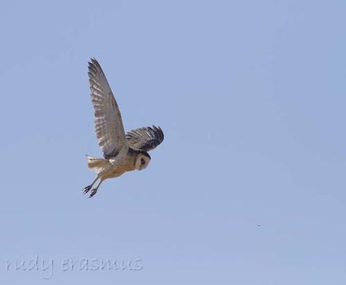 African Grass Owl_6927