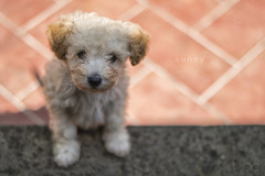 Sunny (CARLORICCI) Tags: italy blur toy 50mm spring nikon italia bokeh f14 may sunny poodle carlo welcome viterbo peluche d800 caniche copyright barboncino barboncinotoy nikkorafs50mmf14g carloricci riccarlo carl ocarlo