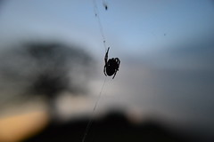 Spider watching the sun set behind lone tree (Matt Burke) Tags: sunset macro tree insect spider bokeh web watching silk blurred