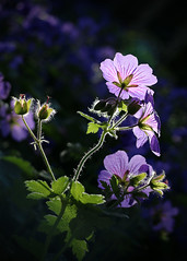 Geranium Rozanne 2 (Yvonne Warriner) Tags: sunlight purple geranium purpleflower rozanne