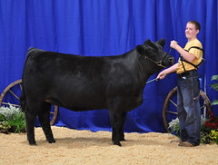 "1st in Class Simmental Regional'11 • <a style=""font-size:0.8em;"" href=""http://www.flickr.com/photos/25423792@N05/14252092070/"" target=""_blank"">View on Flickr</a>"