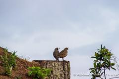Morning, quail (A(nDroid)Sebrell) Tags: sanfrancisco california fog marin goldengatebridge marinheadlands