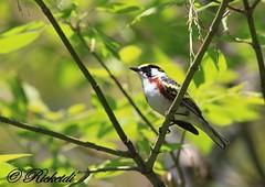 Paruline à flanc marron - Chesnut-Sided Warbler (ricketdi) Tags: ngc coth fantasticnature avianexcellence chesnutsidedwarbler setophagapensylvanica parulineaflancmarron