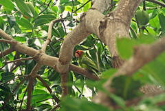 A Red Masked Parakeet ( island girl ) Tags: tree green bird birds island hawaii native parrot again mango parakeet tropical tropic bigisland tropics redmasked
