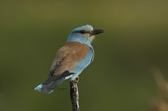Roller (Dave @ Catchlight Images) Tags: blue bird nature islands wildlife greece roller f4 canon500mm