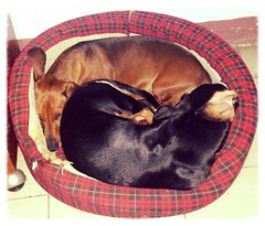 Sharing a bed because it's a chilli night (Mayan_princess) Tags: cute dogs dachshund perros haustier spoiled teckel linky salchicha consen nookinicolas