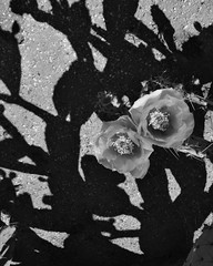 virtual appendages (Star, LaikazEyes: zazzle.com) Tags: flowers arizona cactus bw sunlight contrast outdoors petals shadows desert tucson ground az textures spines dsc0335 laikazeyes