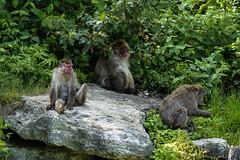 Macaque Japonais (Jessica Boulianne) Tags: zoo qubec japonais singe macaque faune japanesemacaque macacafuscata stflicien macaquejaponais macaquesjaponais zoosauvagedestflicien