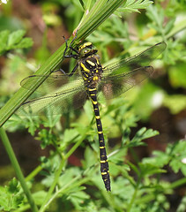 """Gold Ringed Dragonfly • <a style=""""font-size:0.8em;"""" href=""""http://www.flickr.com/photos/57024565@N00/14303776517/"""" target=""""_blank"""">View on Flickr</a>"""