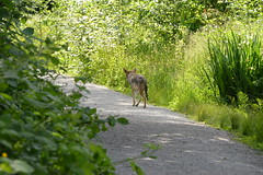 Coyote on path in Stanley Park (Sherwood411) Tags: coyote park urban vancouver wildlife stanley sherwood411