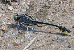 Unknown Clubtail (Art and Nature-Mike Sherman) Tags: summer fauna photo dragonfly michigan clubtail mtpleasant odonata centralmichiganuniversity midlandclubtail veitswoods dowveitswoods gomphusspecies