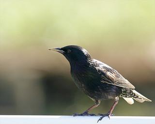 European Starling 20 (Sturnus vulgaris)