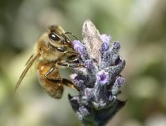 Honey Bee up close