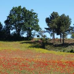 Prendre le temps de s'arrêter * (Titole) Tags: trees field arbres squareformat champ coquelicots titole