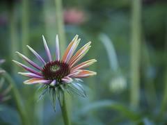 (photo ephemera) Tags: flower blossom echinacea bloom flp photoephemera y7006572