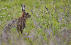 037_Hare (toothandclaw1) Tags: infocus