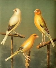 Anglų lietuvių žodynas. Žodis canary yellow reiškia kanarų geltona lietuviškai.