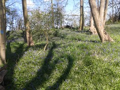 BLUEBELL CARPET 2 DOWN THE FISHERY WOODS 20150422_112938 (Coventry City Council) Tags: coombecountrypark coombeabbey coventry