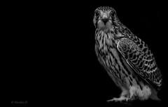 Murmure..... (Pilouchy) Tags: murmure blackandwhite monochrome noir plume faucon birds aile vol nuit regard free lumiere blanc eyes yeux chemin life vie liberte oiseau