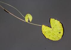 Floating (LSydney) Tags: waterlily lilypad floating royalbotanicgarden water